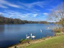 Free Swan Lake At Trentham Stock Image - 143024391