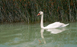 Swan at Lake Balaton,Hungary Stock Images