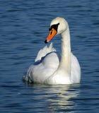 SWAN. At lake balaton hungary Stock Photo