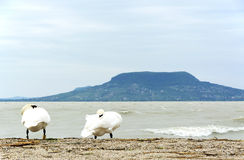 Swan at Lake Balaton Royalty Free Stock Photo