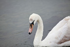 Swan on the lake Royalty Free Stock Photo
