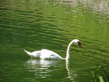 Swan on the lake. Beautiful swan on the lake Royalty Free Stock Photography