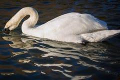 Swan in lake Stock Image