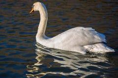Swan in lake royalty free stock photos