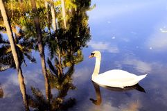 Swan in lake Royalty Free Stock Image