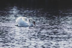 Swan lake. A beautiful swan stands in a magic lake Royalty Free Stock Photography