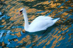 Swan in the lake royalty free stock photos