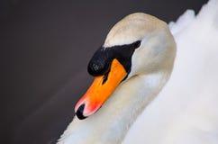 Swan in Lake. Beautiful Swan swimming in a lake Royalty Free Stock Photos