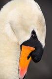 Swan in Lake. Beautiful Swan swimming in a lake Stock Image