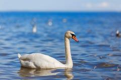 Swan on the lake beautiful water bird summer day Stock Image