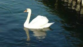Swan on the lake. Beautiful white swan floating on the lake of Geneva, Switzerland stock video
