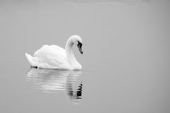 Swan on lake black and white Royalty Free Stock Photo