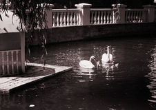 Swan Lake. Black and white photo. Royalty Free Stock Photography