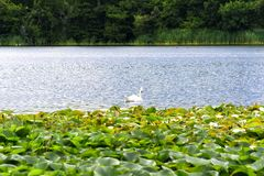 Swan in Lake in Blarney, Ireland. Swan swimming in a lake with flowering lily pads in Blarney, Ireland stock photography