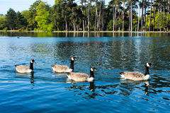 Swan lake Royalty Free Stock Photo