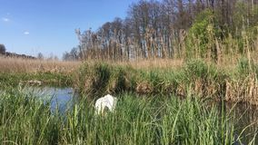 Swan on the lake. A swan calmly swimming on a lake among grasses in sunny weather, Polish spring stock video