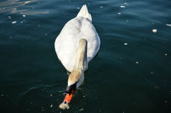 Swan in the lake. Catched in Italy while easter was beginning Royalty Free Stock Photos