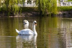 Swan lake in city Royalty Free Stock Photography