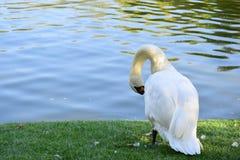 Swan on a lake coast. White swan on a lake coast to clean feathers stock photos
