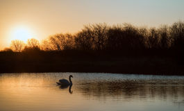 Swan on lake during colorful Winter sunrise Royalty Free Stock Images