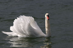 Swan on Lake Constance Stock Images