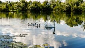 Swan. Lake Croatia wildlife family babe Savica birds white Royalty Free Stock Photo