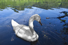 Swan in a lake Royalty Free Stock Images