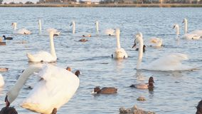 Swan lake. Ducks and swans on the lake. On a Sunny summer day stock video footage