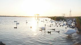 Swan lake. Ducks and swans on the lake. On a Sunny summer day stock video