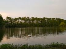 Swan with Lake at Dusk. Rosy glow on surface of lake with Swan grooming itself in the foreground. Swans are birds of the family Anatidae within the genus Cygnus Royalty Free Stock Photography