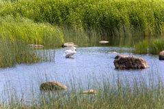 Swan in the lake, in an environment of a green grass and stones Royalty Free Stock Photography