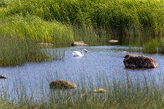 Swan in the lake, in an environment of a green grass and stones Royalty Free Stock Image