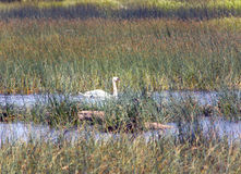 Swan in the lake, in an environment of a green grass and stones Royalty Free Stock Photos