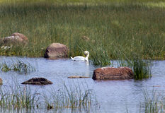 Swan in the lake, in an environment of a green grass and stones Stock Photos