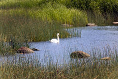 Swan in the lake, in an environment of a green grass and stones Stock Images