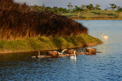 Swan on Lake. In evening Stock Photos