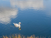 Swan on lake with exceptionally beautiful ripples, reflections. Stock Images