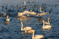 Swan lake fight winter birds Stock Photo