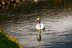 Swan on lake Royalty Free Stock Images