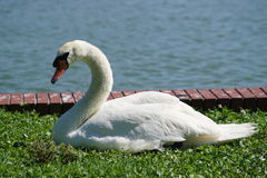 Swan at Lake in Florida. Swan photo taken at Lake Morton in Lakeland Florida Stock Photos