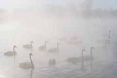 Swan lake fog winter birds Stock Images