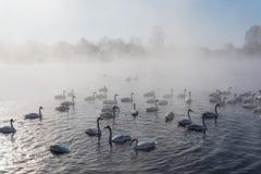 Swan lake fog winter birds Royalty Free Stock Image
