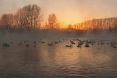 Swan lake fog winter sunset Stock Photography