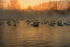 Swan lake fog winter sunset Stock Photo