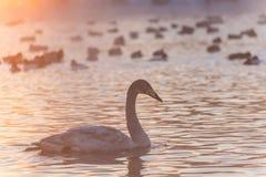 Swan lake fog winter sunset Stock Image