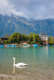 Swan and lake at the foot of Jungfrau Royalty Free Stock Image