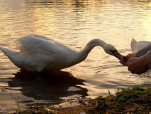 Swan from Lake Forfar. Royalty Free Stock Images