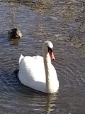 Swan at lake stock photography