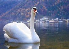 Swan on Lake Royalty Free Stock Photo