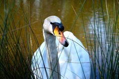 Swan in lake with high grass stock photo
